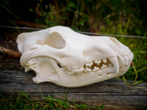 huge_male_wolf_skull_by_cravingotters-d4h4p06